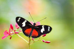 Vlinder Heliconius dora