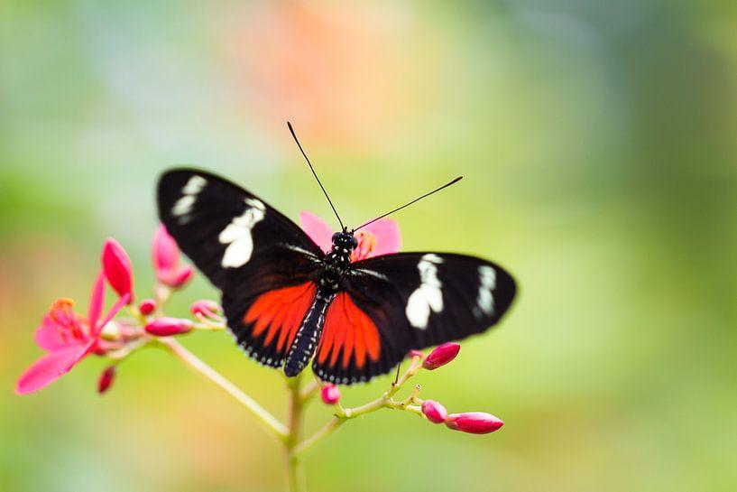 Vlinder Heliconius dora van Ralf Linckens