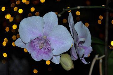 Orchidee (2) von Rob Burgwal