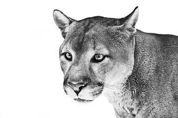 entmutigter Luchs schaut verwirrt, Porträt einer Großkatze im Profil auf weißem Hintergrund von Michael Semenov