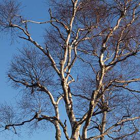 Berkenboom tegen blauwe lucht van Rinke Velds