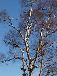 Berkenboom tegen blauwe lucht van