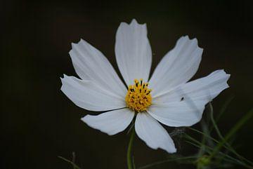 Margriet bloem von Eva Toes