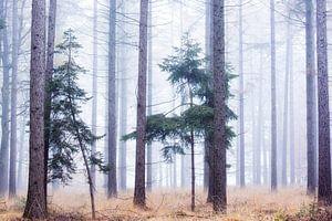 Mist in het sparrenbos van Francis Dost