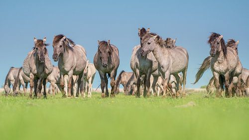 Wilde konik paarde kudde