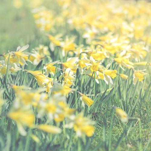 Daffodil squared (Narcissus sp.)