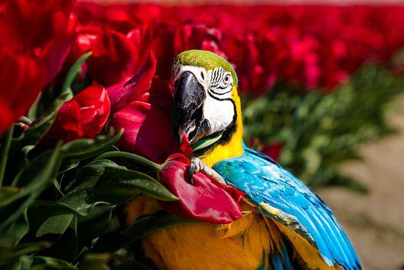 Papegaai tussen de tulpen (Blauwgele ara)
