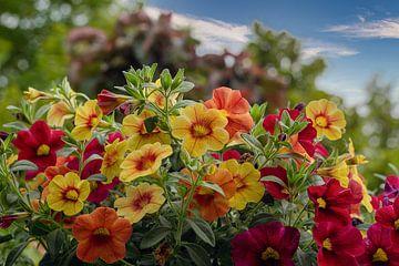 Bloeiende Petunia's in de tuin van JM de Jong-Jansen