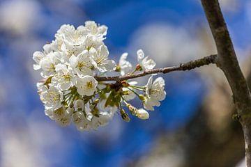 Kirschblüten vor Blau van Christian Müringer