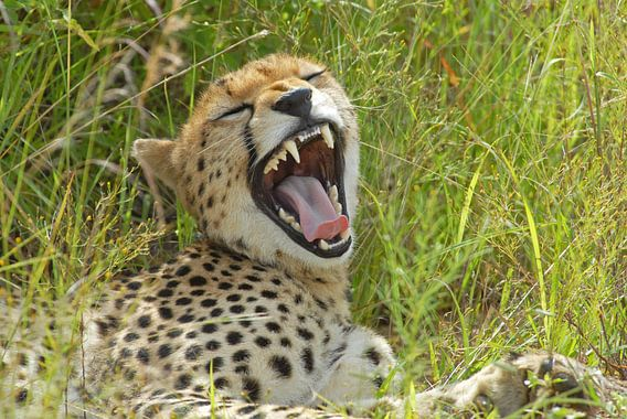 Cheetak yawning van Peter Zwitser