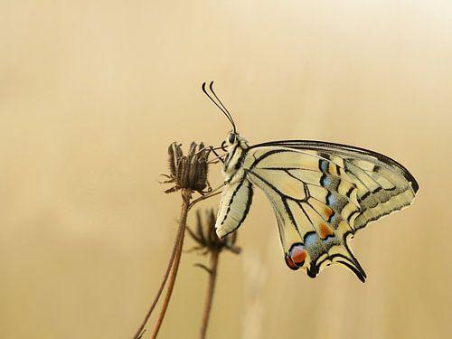 Koninginnenpage, butterfly van