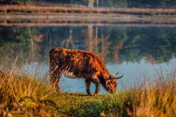 Highlander écossais broutant à travers une réserve naturelle sur Bas Fransen