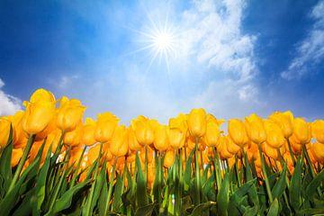 Gele zonnige tulpen van Dennis van de Water
