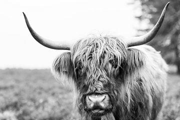 Portrait d'un bétail Highland écossais sur Sjoerd van der Wal