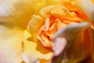 Nahaufnahme einer gelben Rose von Gerard de Zwaan