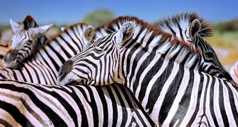 Entspannte Zebras, Namibia von W. Woyke