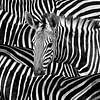 Modern Zebra Portret  In Zwart Wit van Diana van Tankeren thumbnail