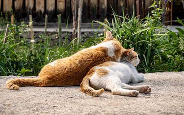 Couple de chats au soleil du soir sur Stijn Cleynhens