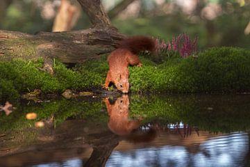 Drinkende eekhoorn van Petra Lakerveld