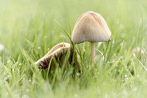 paddenstoeltjes in het gras-2