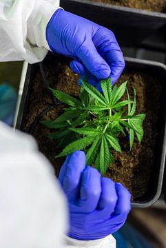 Close Up Cannabisverzorging van dichtbij van Felix Brönnimann