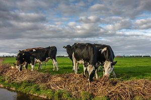 Koeien in het Land van