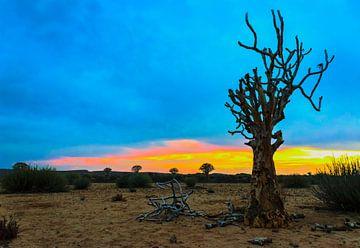 Quiver trees bij zonsopkomst in de Kalahari woestijn,Namibië van Rietje Bulthuis