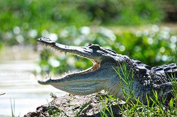 Krokodil in Afrika van Niek Belder