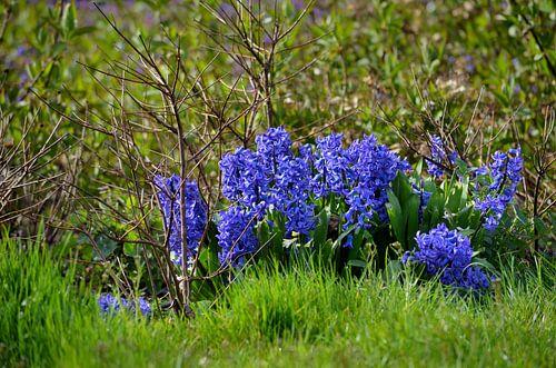 Hyacinten