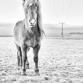 Icelandic horse sur Islandpferde  | IJslandse paarden