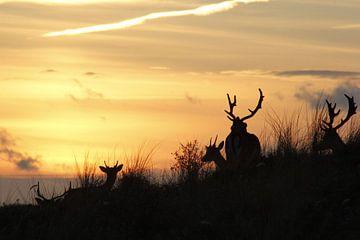 damherten by sunset fallow deer van