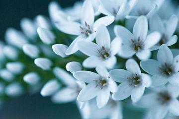 witte bloem, Macro von Carolina D'Andrea