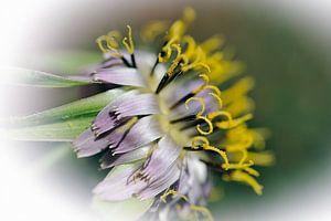 Fleur de salsifis