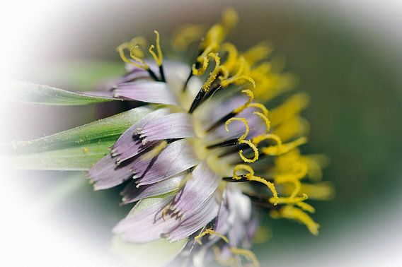 Fleur de salsifis van Martine Affre Eisenlohr