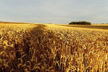 Getreidefeld mit Baumschatten