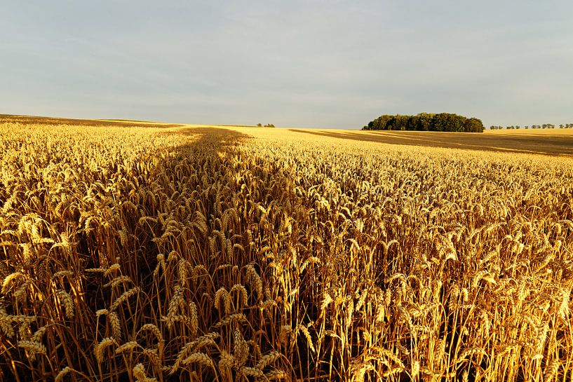 Getreidefeld mit Baumschatten von Ralf Lehmann