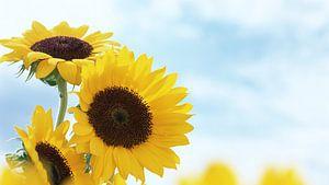 Sunflower van Gayan Virajith
