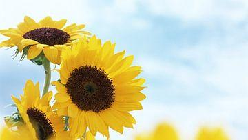 Sunflower von Gayan Virajith