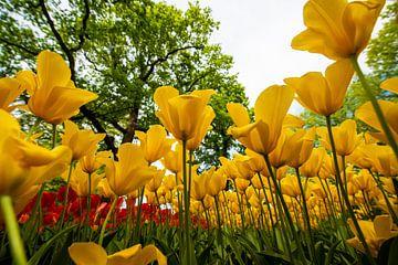 Tulpen in het Geel