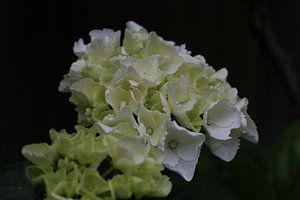 Fleur blanche en gros plan sur Paul Franke