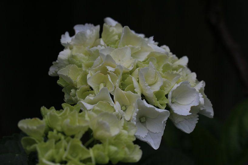 Witte bloem close-up van Paul Franke