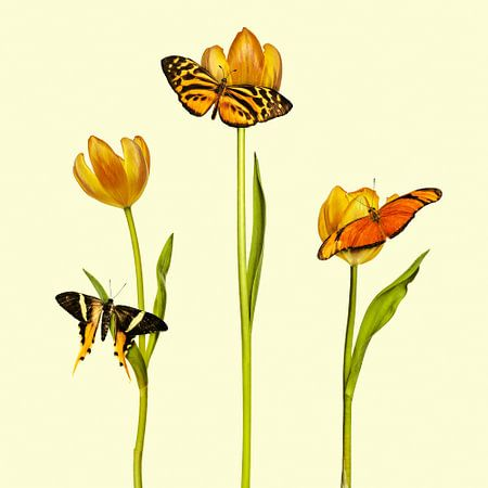 De drie oranje vlinders
