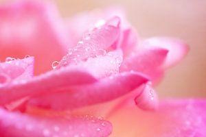 Rose petals..