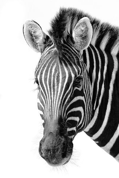 Zebra van Denis Feiner