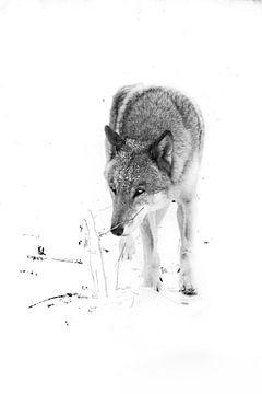zwart-wit Insidious look van een grijze wolf Grijze wolf mannetje in de sneeuw, sterk dier in de win van Michael Semenov