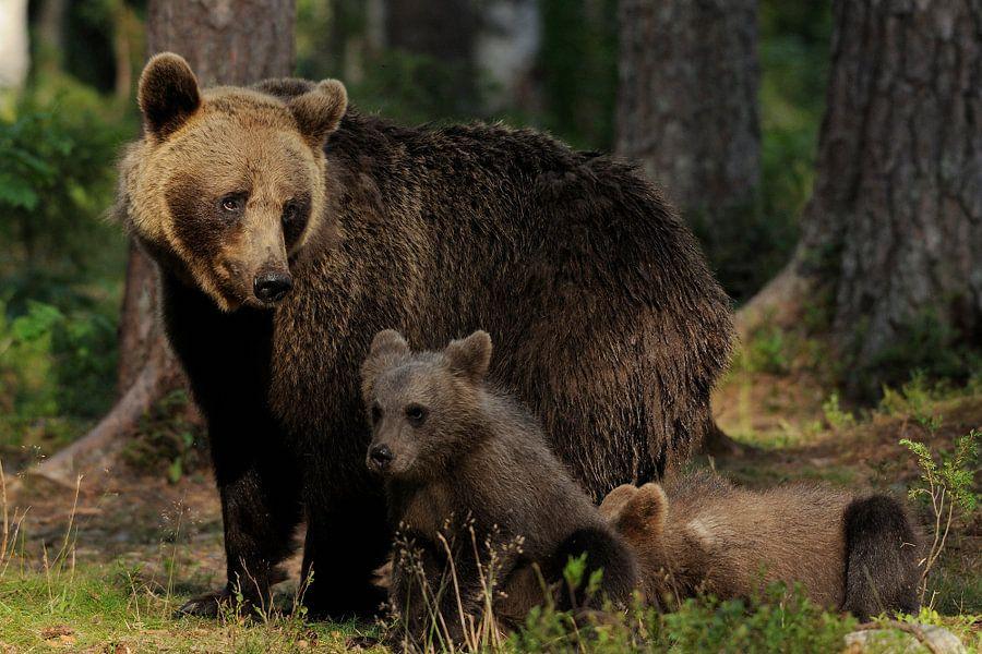 Moederbeer met jongen van Tariq La Brijn