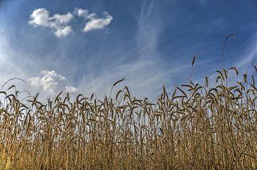 Getreide unter einem Blauen Himmel von