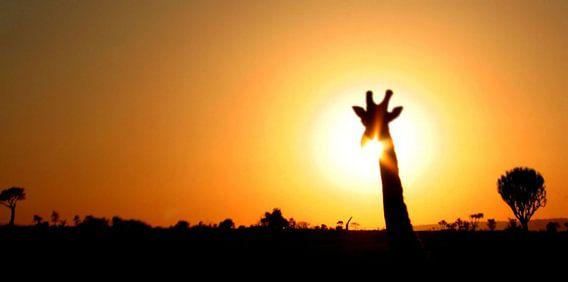 giraffe silhouette safari