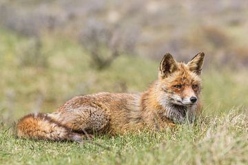 Fuchs, der im Gras liegt von William Linders