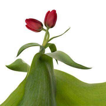 Tulipes : le coup de foudre sur Klaartje Majoor